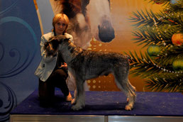 """GLORIS HARLEY DEVIDSON  - BEST MALE OF THE BREED 2014 and CHAMPION OF THE BREED 2014, Moscow, Russia, 20/12/14, """"Golden Collar"""""""