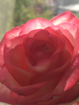 aufblühende Rose als Zeichen der Öffnung des Schoßraumes, als Bereitschaft zum Erblühen, Erwachen