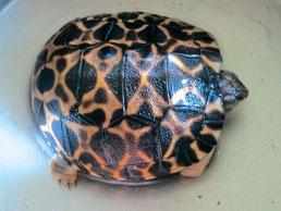 """""""Selbstschlupf"""" einer kleinen Strahlen- schildkröte."""
