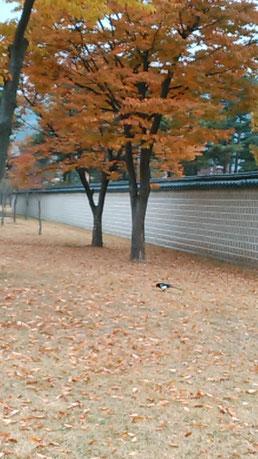 韓国のかささぎです。午前中に見るカササギは、吉鳥で、お客様が沢山来ると言われているそうです。