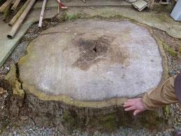 大鳥居になる木の切り株 内側の白い部分を使います