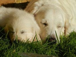 Une chienne golden retriever sable et son chiot dorment l'un prés de l'autre dans l'herbe par coach canin 16 educateur canin angouleme