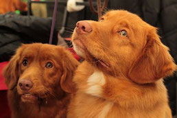 têtes de deux chiens marron clairs écoute oreilles dressées par coach cain 16 éducateur canin en charente