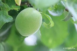 写真集:梅の実
