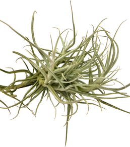 Tillandsia arhiza