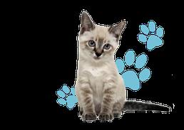 子猫の激安販売【関東・埼玉 猫の部屋セイワ】ブリーダーから直接お迎えで、安心・安い!