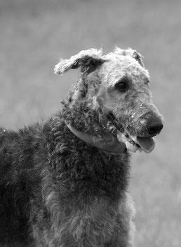 Airedale terrier - Maladies héréditaires du chien