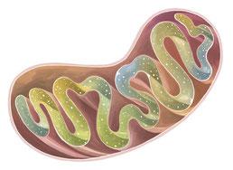体内のミトコンドリアを増やして元気になるための3つの方法