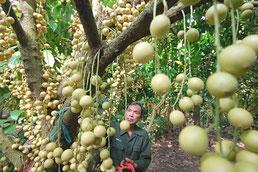 Picking fruits in Cu Chi