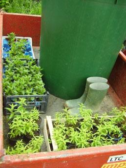 Alles was man zum setzen braucht: Regentonne, Pflanzen und Gummistifel