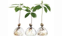 Tentoonstelling over avocado's, je eigen avocado plant uit pit kweken
