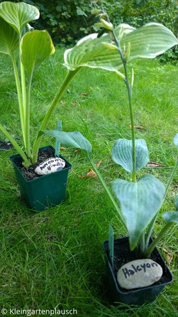 """Zwei Hostapflanzen in Töpfen, darin jeweils mit Namen beschriftete Kiesel, der vordere trägt den Namenszug """"Halcyon"""""""
