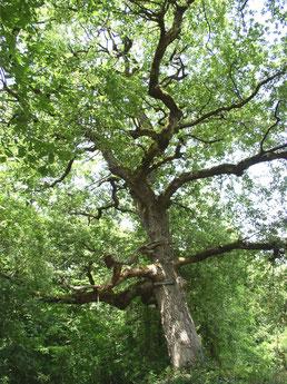 Le chêne de la sorcière