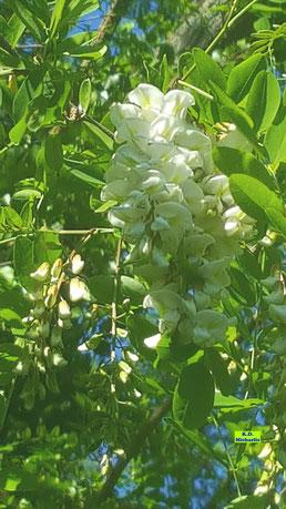 Nahaufnahme der weißen Blütentrauben der Robinie / Scheinakazie / Falschen Akazie mit leuchtendgrünem Laub vor sattblauem Frühlingshimmel von K.D. Michaelis