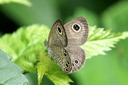 ヒメウラナミジャノメ蝶