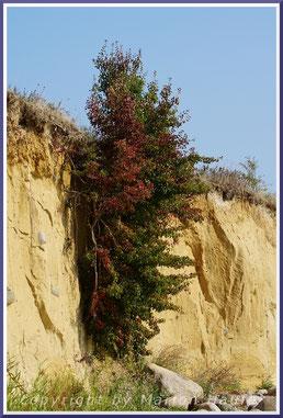 Wildbirne (Pyrus pyraster) im Steilufer von Klein Zicker.
