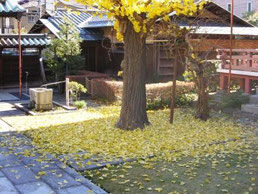 どさっと散った銀杏の葉