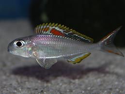 "xenotilapia, xenotilapia nigrolabiata, xenotilapia nigrolabiata sp.""red princess"", ксенотиляпия ред принцесса, ксенотиляпия"