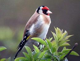 """cardellino - """"come il canto degli uccellini ..."""""""