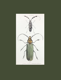 Prionus Corticinus