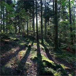 Forêt en Morvan