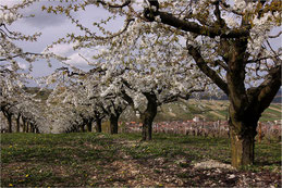 Cerisiers de l'Yonne