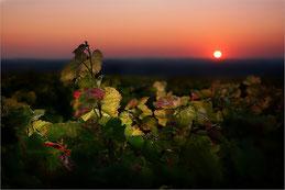 Coucher sur la vigne
