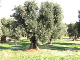 樹齢数百年のオリーブの樹。まだまだ若い。