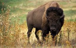 bovidés animaux bison