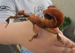 phasme tiare scorpion