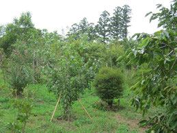 柿の実に秋の気配を感じる第二樹木葬地です