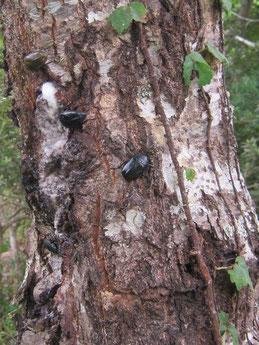 この夏も樹液を求めて昆虫がやってきました