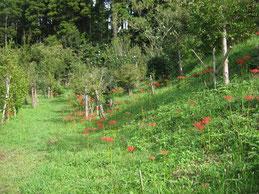 彼岸花で彩られる第一樹木葬地