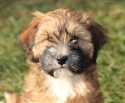 Tibet Terrier Rüde Geatano du joyeux Berger