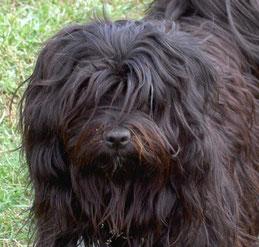 Tibet Terrier Hündin Baimani du joyeux Berger