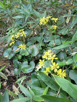 ●ひっそりと咲いていたツワブキ(キク科)