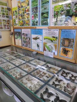 ●チョウの標本と昆虫の解説