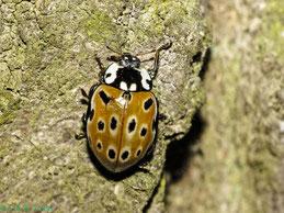 Augenmarienkäfer (A. ocellata)