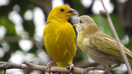 Saffron Finch, Safranammer, Sicalis flaveola