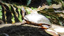 Black river turtle, Schwarze Flussschildkröte, Rhinoclemmys funerea