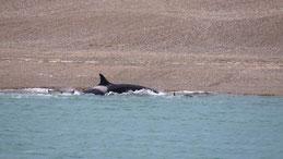 Orca, Schwertwal, Orcinus orca, Valdes