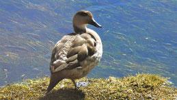 Crested Duck, Haubenente, Anas platyrhynchos domesticus, Lauca NP