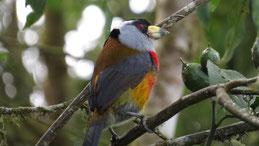 Toucan Barbet, Tukan-Bartvogel, Semnornis ramphastinus, Mindo