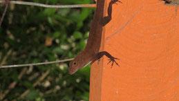 Cotsa Rica scaly-eyed gecko, Lepidoblepharis xanthostigma