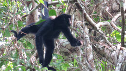 Black-faced Spider Monkey, Schwarzgesichtklammeraffe, Ateles chamek, Manu National park