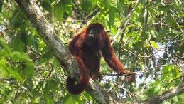 Red Howler, Peru´s red Howler Monkey, Roter Brüllaffe, Alouatta puruensis, Manu National Park