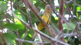 Brown-throated Parakeet, Braunkehlsittich, Eupsittula pertinax, Los Llanos