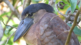 Boat-billed heron, Kahnschnabel, Cochlearius cochlearius