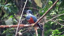 Ringed Kingfisher, Rotbrustfischer, Megaceryle torquata, Refugio Bartola