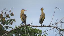 Whistling Heron, Pfeifreiher, Syrigma sibilatrix